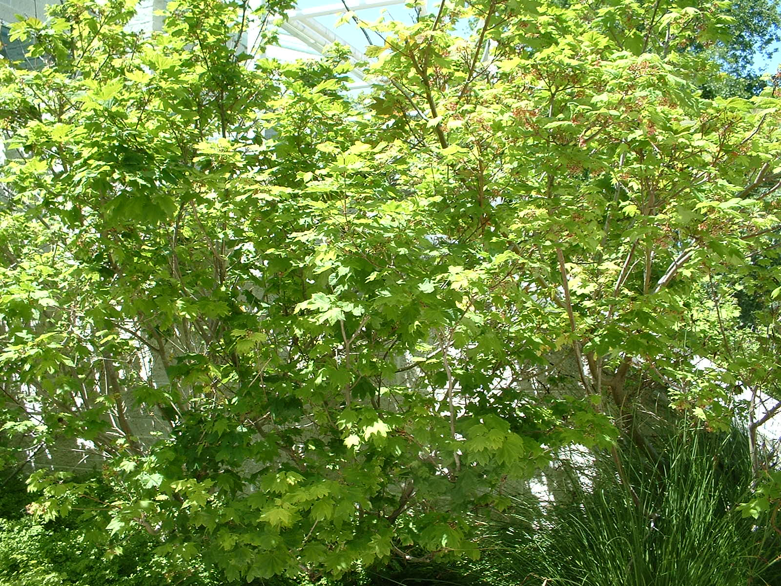 Acer Circinatum The Watershed Nursery