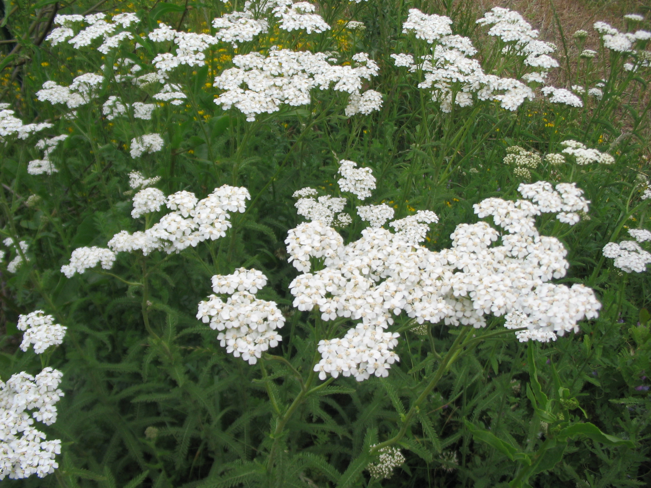 Achillea millefolium – The Watershed Nursery