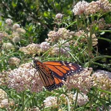 Asclepias fasciularis with monarch