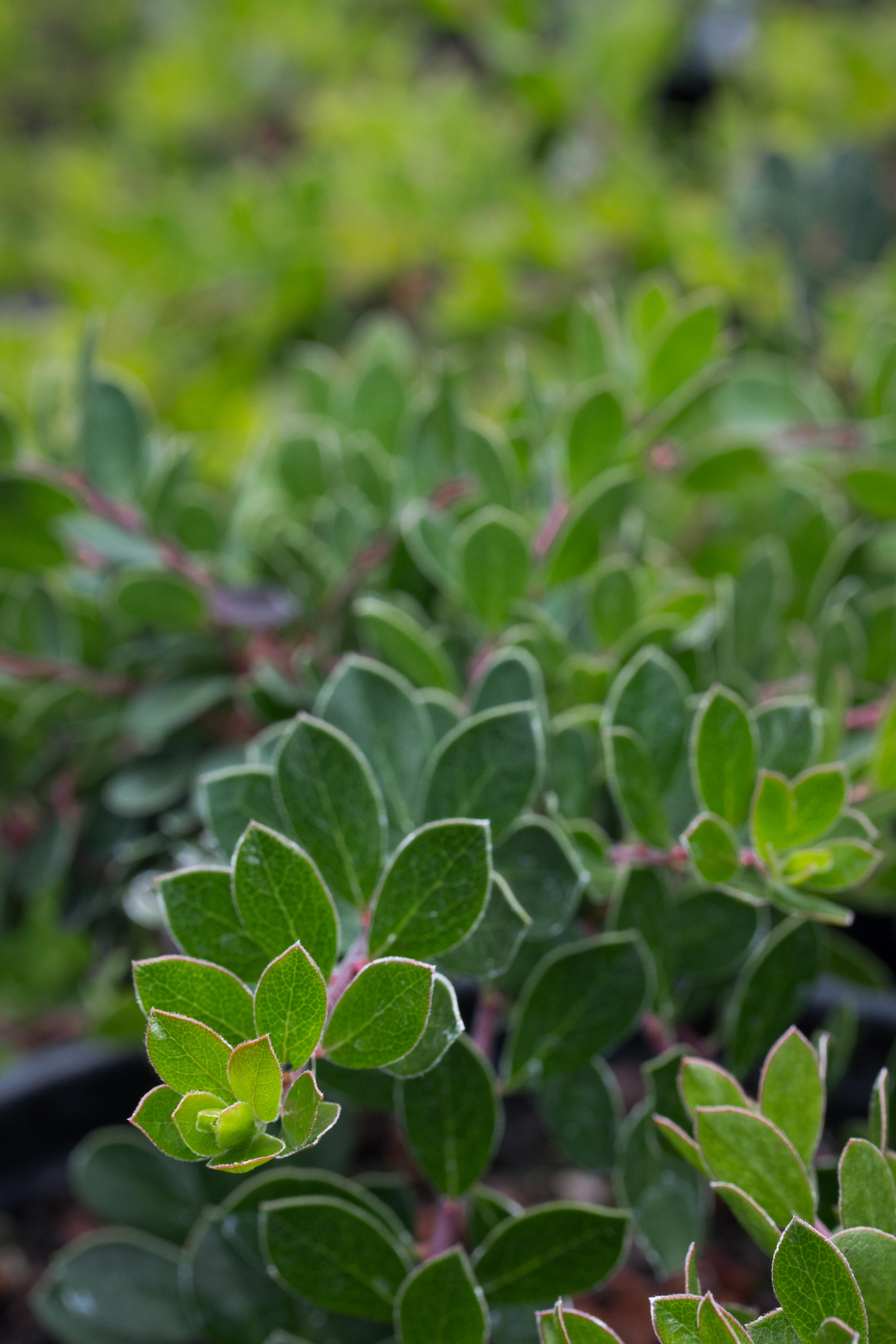 Picture of Live Trailing Manzanita aka Arctostaphylos 'Emerald Carpet' Plant Fit 5 Gallon Pot