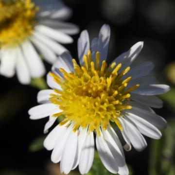 Symphyotrichum chilense