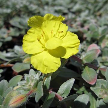 Camissonia cheiranthifolia