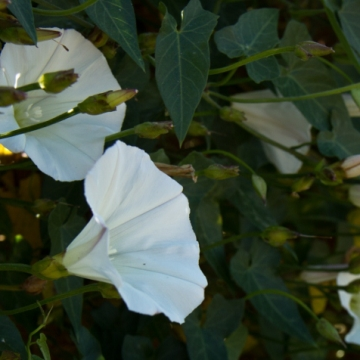 Calystegia occidentalis