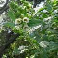 Lepichinia calycina