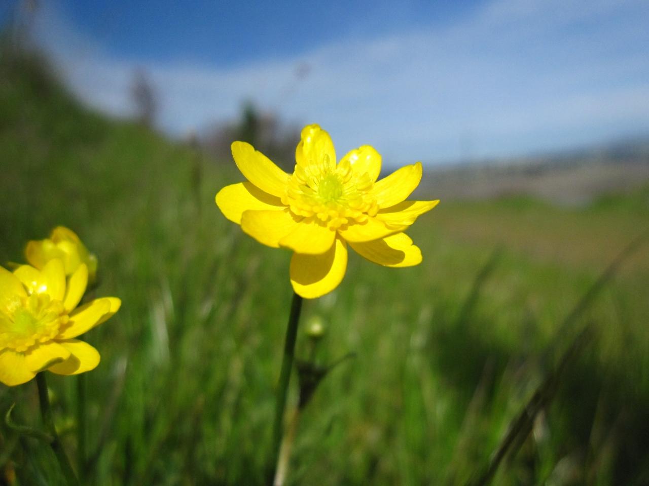 Ranunculus Californicus The Watershed Nursery