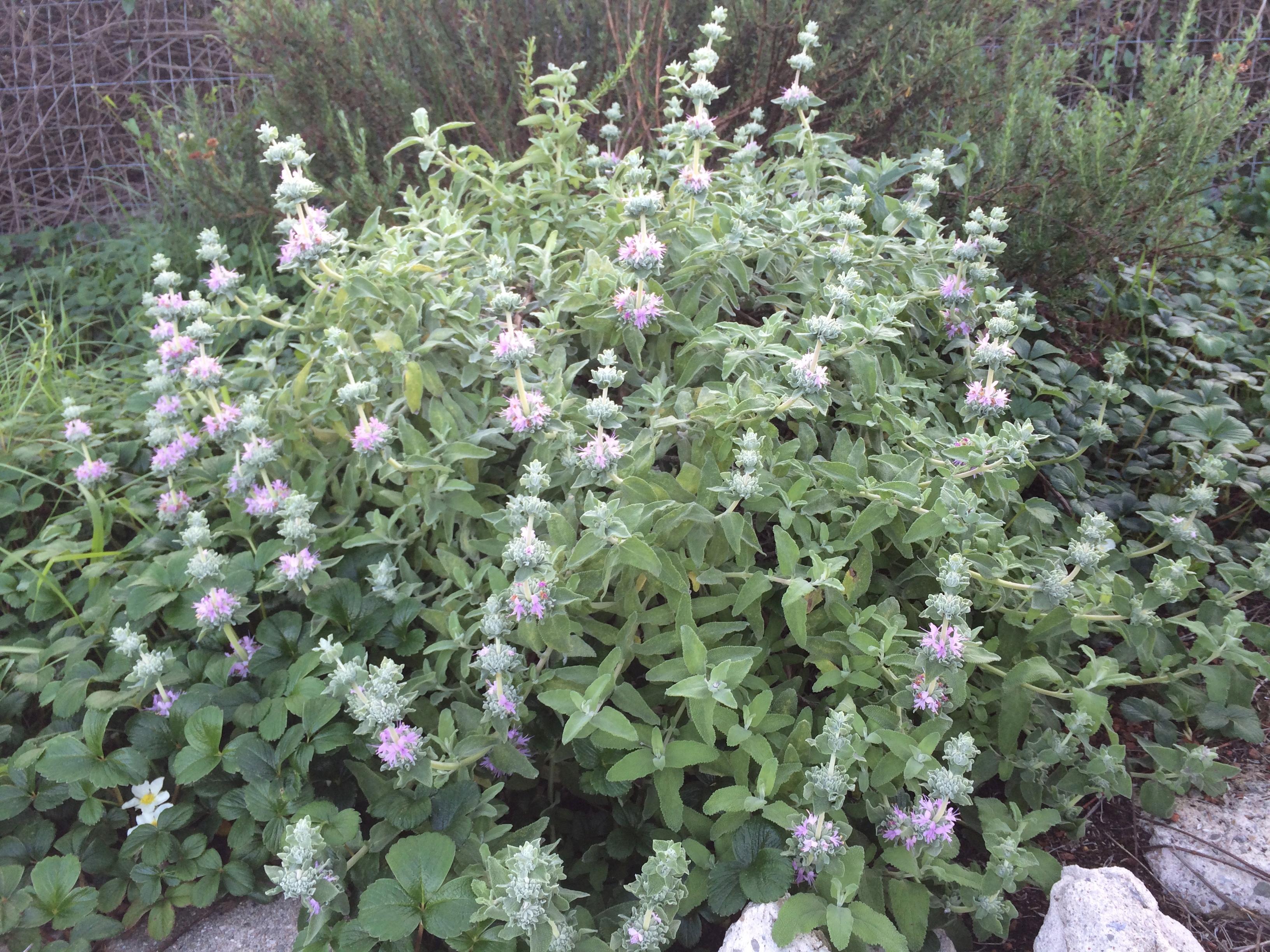 Salvia Leucophylla The Watershed Nursery