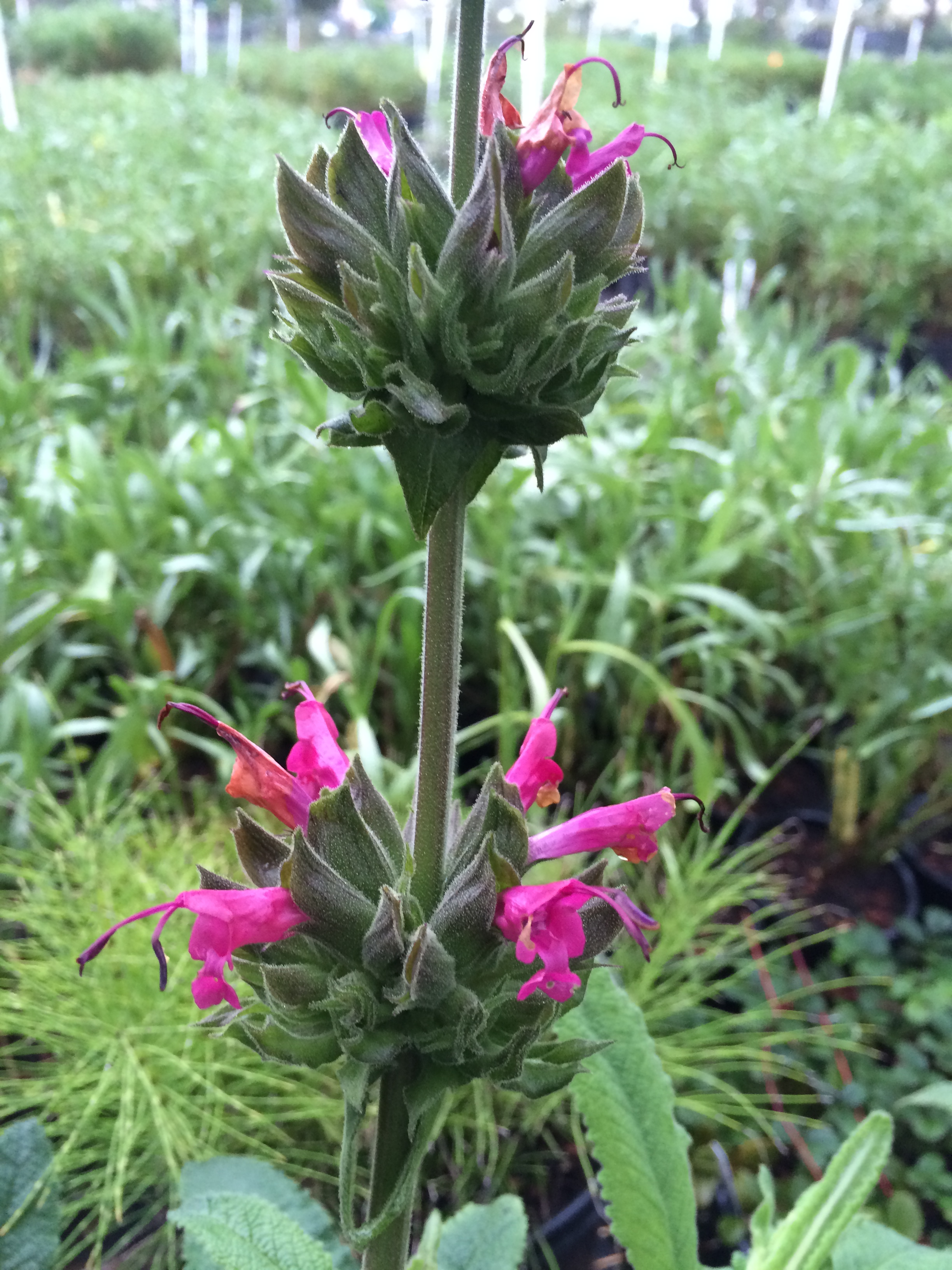 Salvia Spathacea The Watershed Nursery