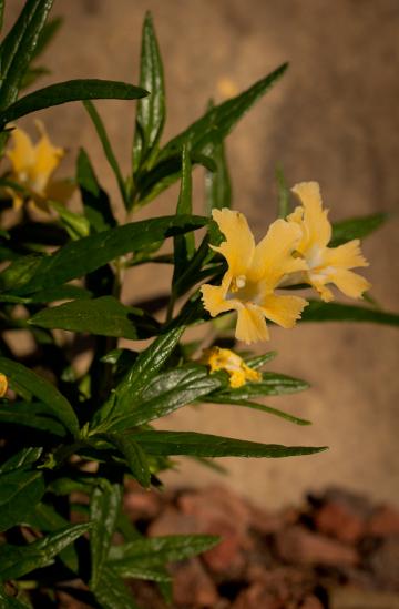 Mimulus aurantiacus var. grandiflora