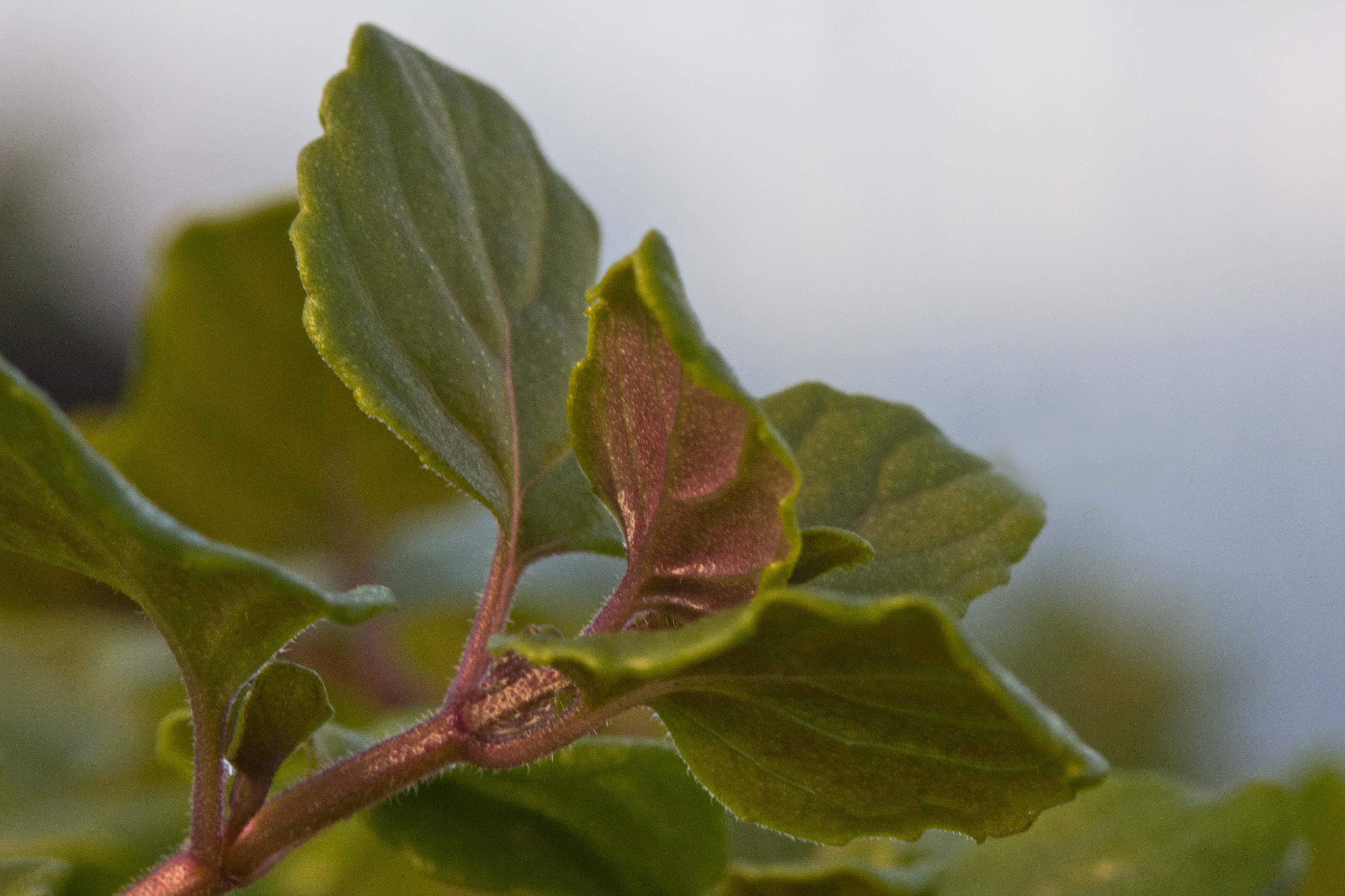 Clinopodium Douglasii