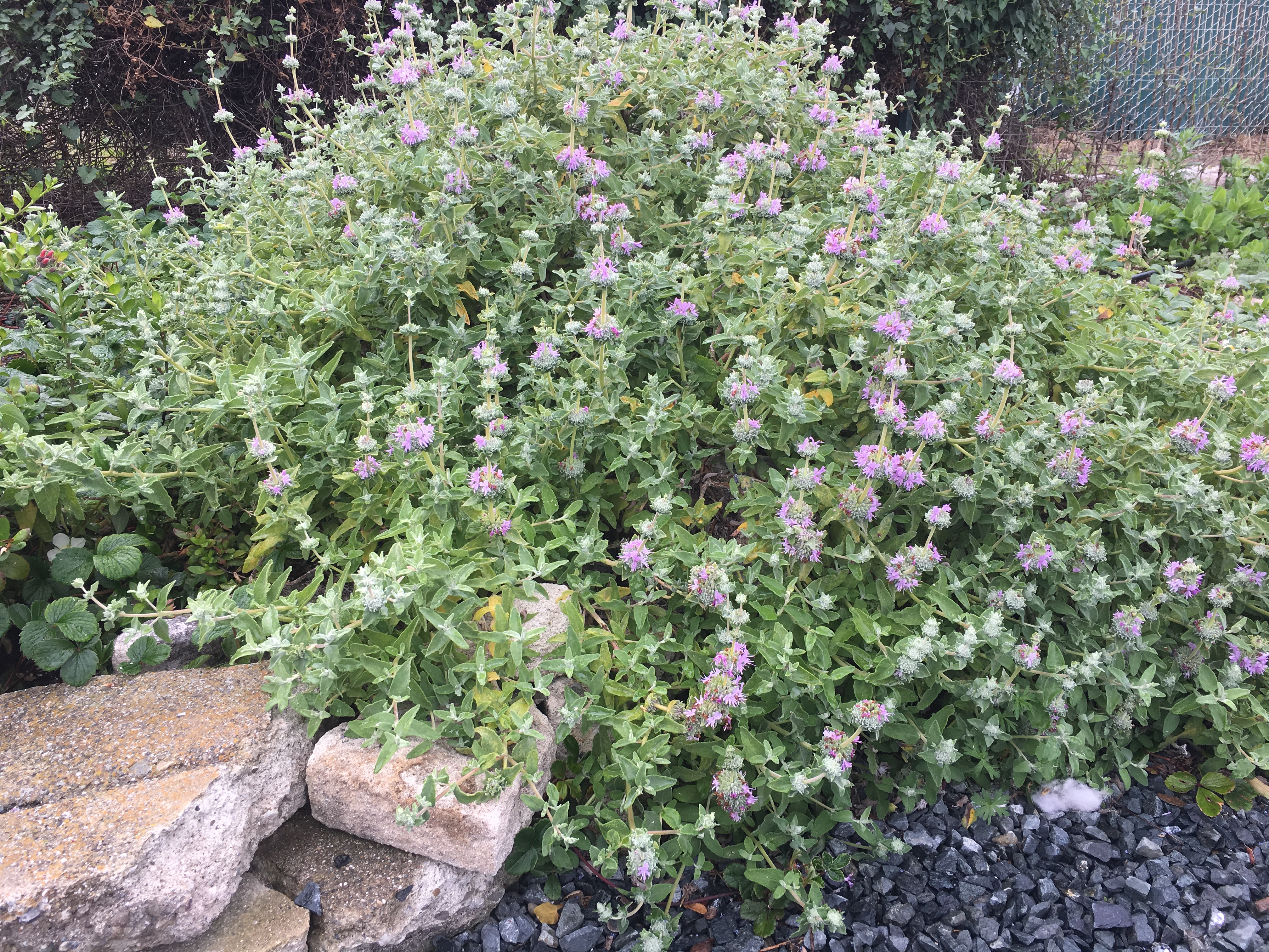 Picture of Live Creeping Sage aka Salvia 'Bee's Bliss' Prennial Plant Fit 5 Gallon Pot